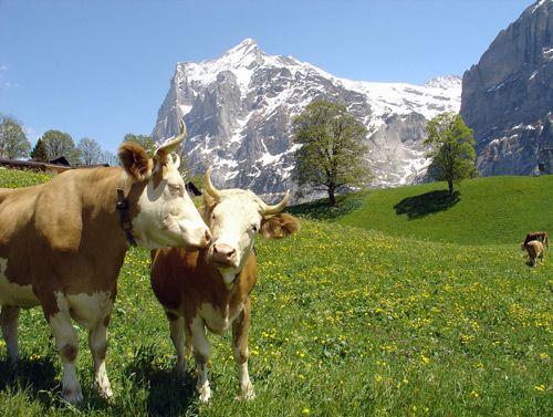 Cremo cows